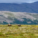 Goodnews Bears grazing above camp